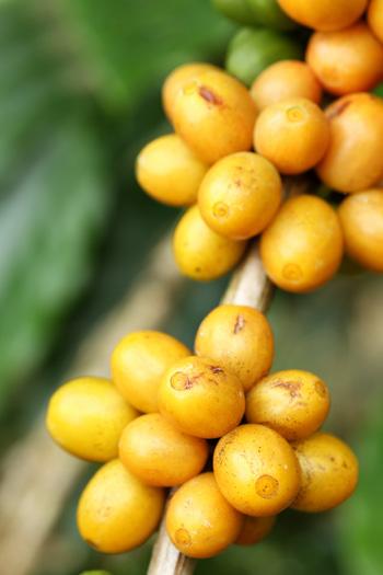 As características do Bourbon Amarelo