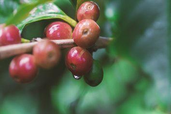 Ondas de calor podem prejudicar a produção mundial de café