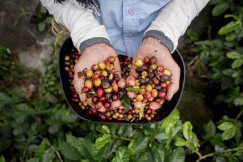 Tecnologia e produtividade na cafeicultura de Rondônia