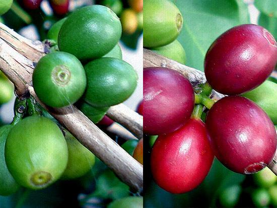 1007 fruto   O Fruto do Café