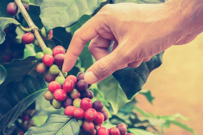 colheita-cafe-brasil