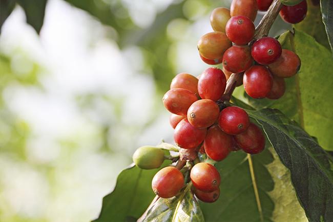 cafeicultura-parana